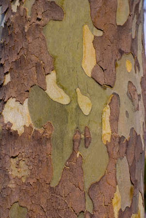Close up image of mottled sycamore tree bark for background Stock Photo - 10932420