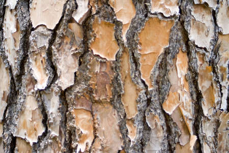 Closeup image of pine bark for a background Stock Photo - 10932419