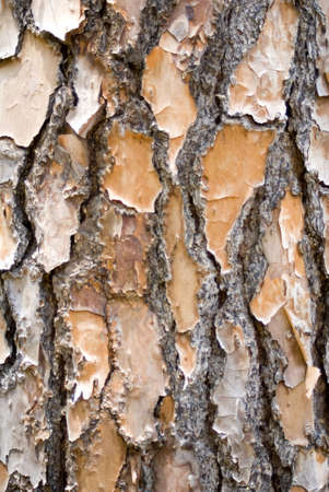 Closeup image of pine bark for a background Stock Photo - 10932418