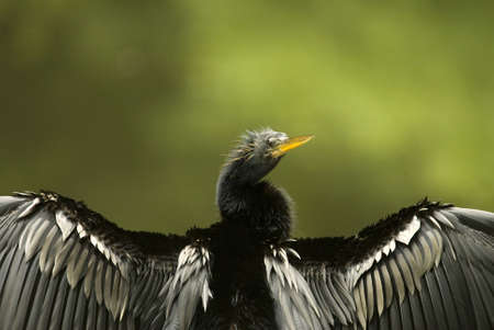 A closeup picture of a Cormorant bird drying its wings Stock Photo - 11108162