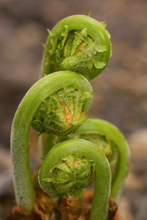 Green Ostrich fern fronds unfurling in spring Stock Photo