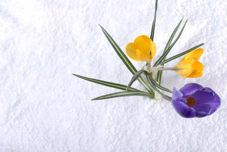 Purple and yellow crocus flowers in the snow Stock Photo - 13128151