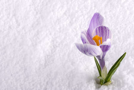 A crocus flower in the snow Stock Photo - 13128149