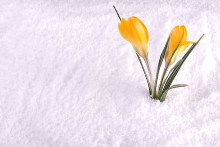 early spring snow: A yellow crocus flower in the snow