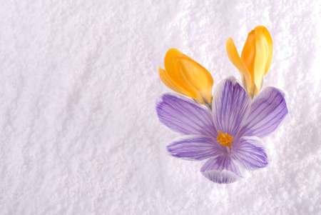 Three crocus flowers emerging from snow in spring Stock Photo - 13162359
