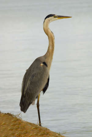 A full body closeup shot of a great blue heron photo