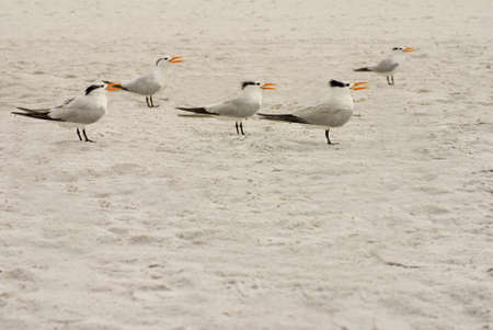 apparently: Five Elegant Tern birds standing in the sand apparently singing