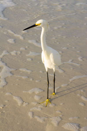 A white snowy egret with black legs and yellow feet Stock Photo - 13428285