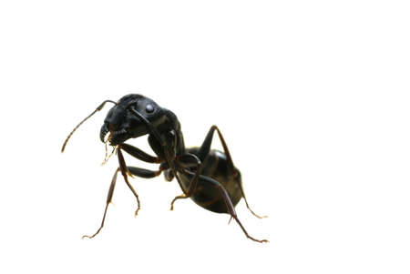 A macro image of a scary carpenter ant standing on its back legs Stock Photo - 13605783