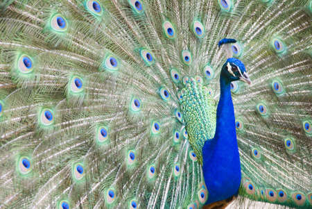 flaunt: A blue peacock showing its colorful plumage
