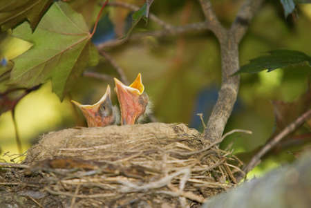 Two baby robins with mouths wide open looking to eat Stock Photo - 14532726