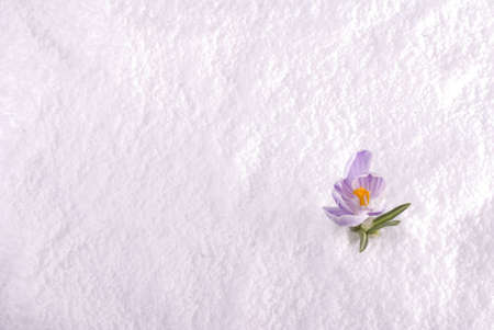 A crocus flower emerging from the snow Stock Photo - 17314671