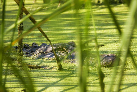 An American Alligator Lurking Behind Reeds in an Algae Filled Lake Stock Photo - 17728650