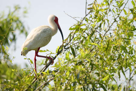 A white Ibis bird standing in a tree Stock Photo - 17728539