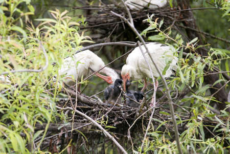 An Ibis bird feedeing a baby chick in its nest.