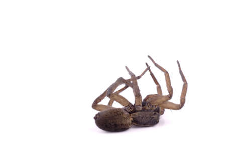 dead animal: A dead wolf spider on its back Stock Photo