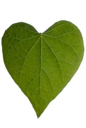 shaped: A heart shaped leaf on a white
