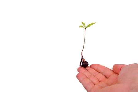 An oak tree seedling resting on a mans finger. photo