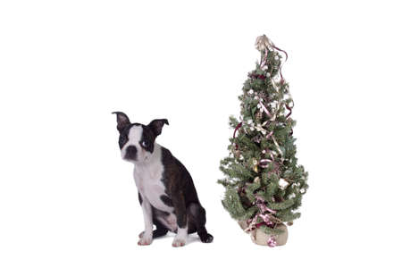 boston terrier: A Boston Terrier puppy sitting by a small Christmas tree.