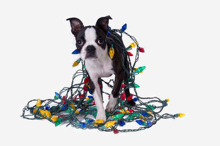 A Boston Terrier puppy wrapped in colorful Christmas lights. Stock Photo