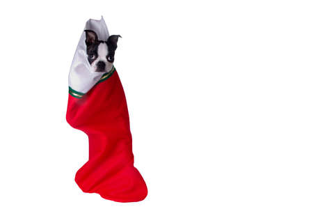 A cute Boston Terrier puppy hanging in a Christmas stocking.