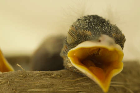 A baby bird with an open mouth and closed eyes. Stock Photo