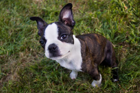 brindle: A Boston Terrier puppy sitting in the grass looking at the viewer. Stock Photo