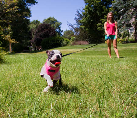 A Boston Terrier puppy in a pink shirt running in the grass on a leash. Stock Photo
