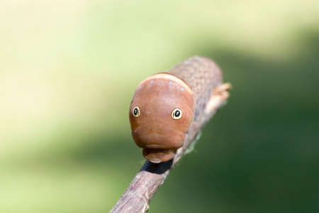A really weird looking caterpillar with eyes looking at you! Scary. Stock Photo