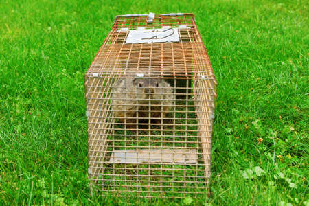 A groundhog in a cage looking at the viewer. Stock Photo
