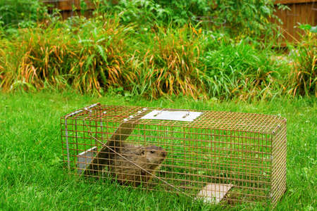 A groundhog in a trap near the garden he was devouring.