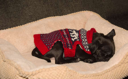 A cute black pug puppy sleeping in its bed Imagens