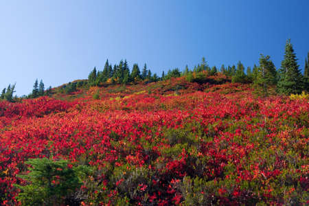 A field of red huckleberry bushes in fall Imagens