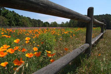 carolina del sur: Campo de flores con cerca de madera y cielo azul en Carolina del Sur isla.
