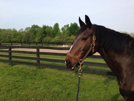 Portrait of a Dutch Warmblood horse Banco de Imagens