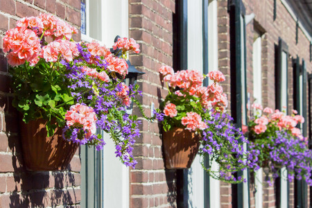 diagonally: Pink geraniums hanging at facade of house with windows
