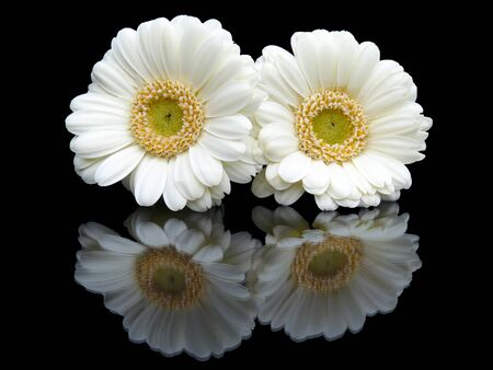 mirror image: Two white flowers with mirror image isolated on black background