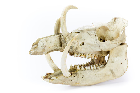 eye socket: Skull of wild boar showing jaws with large teeth isolated on white background