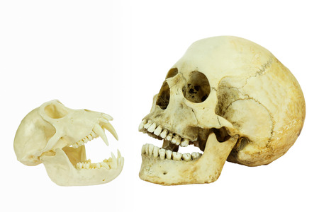 animal skull: Human and monkey skull opposite of each other with open mouths isolated on white background
