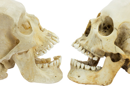 resemblance: Two human skulls opposite of each other with open mouths isolated on white background