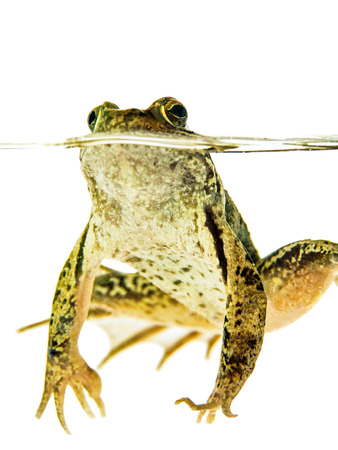 Green frog swimming at water surface isolated on white background
