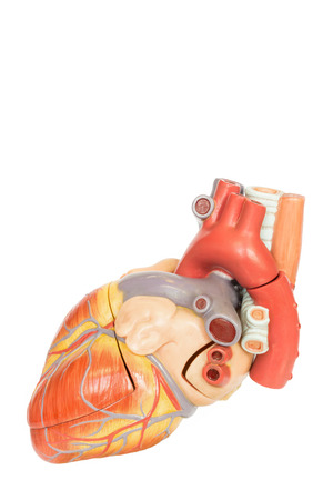 Artificial human heart model side view isolated on white background