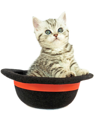 true bred: Young british shorthair silver tabby cat in black hat isolated on white background