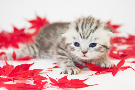 shorthair: Young black silver british shorthair kitten between red autumn leaves isolated on white background
