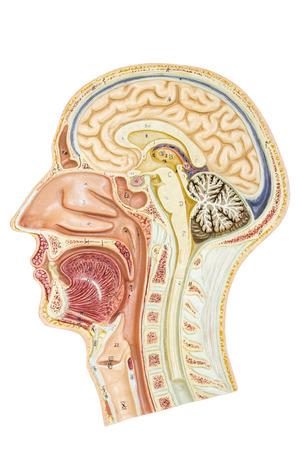 白い背景に分離された教育のための人間の頭の断面