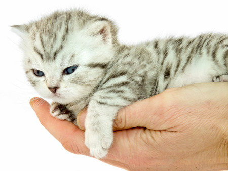 true bred: Hand holding young british shorthairblack silver cat isolated on white background