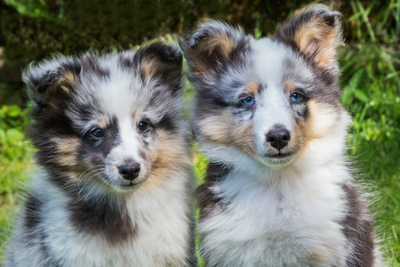 Portrait of two young sheltie dogs outdoors in garden