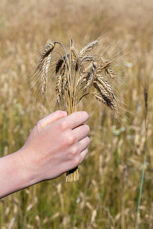 cereals holding hands: Hand holding corn in front of cropland or corn field as symbol of harvest season