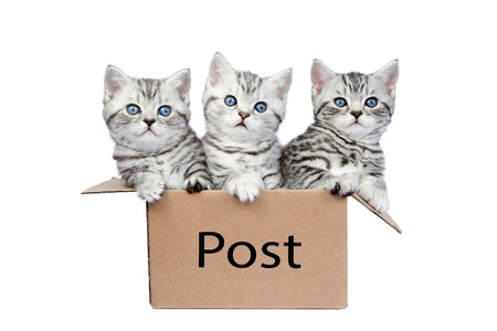 shorthair: Three young british shorthair black silver tabby cats in cardboard box isolated on white background
