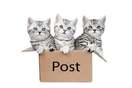 ojos azules: Tres jóvenes atigrado gato de pelo corto negro de plata británicas en la caja de cartón aisladas sobre fondo blanco